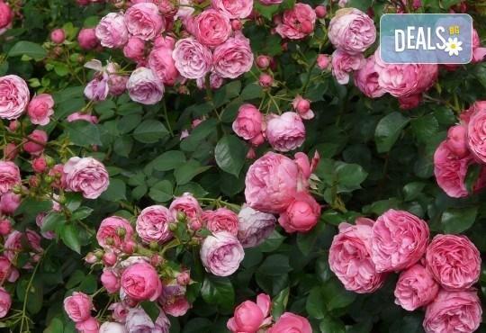 Заповядайте на ежегодния Празник на розата в Казанлък - еднодневна екскурзия с транспорт от Русе и екскурзовод - Снимка 2